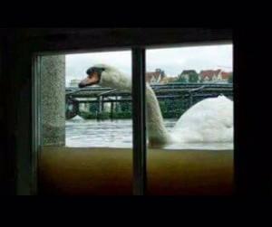 Swan at window